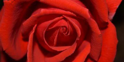 rose-1476221__340