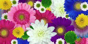 chrysanthemum-1385932__340