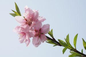 peach-blossom-1503626_1920