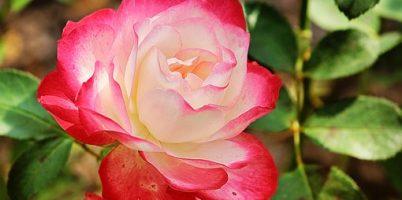 rose-1843021__340