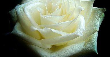 white-rose-1811844__340