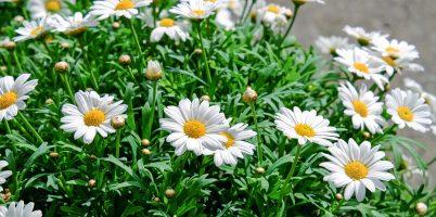 daisies-1373075_1920